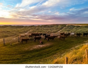 A heard of cows in a grassy field at sunset, with a beautiful sky and ocean in the background. Taken at Golden Strand, Achill Island in Ireland.