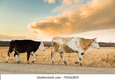 Heard of cows in a pasture in the mountains just before sunset, beige clouds and blue sky on backgound