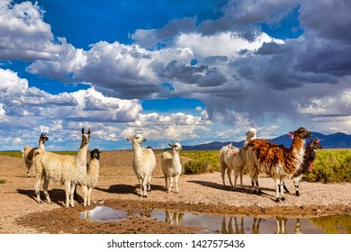 A Heard of Llama (Lama glama) a High Altitude Domestic Camelid from The Andes in South America