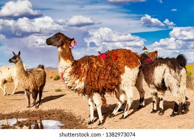 A Heard of Llamas (Lama glama) a High Altitude Domestic Camelid from The Andes in South America