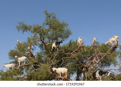 Heard of Moroccan goats climbed on Argan tree and eating Argan nuts.