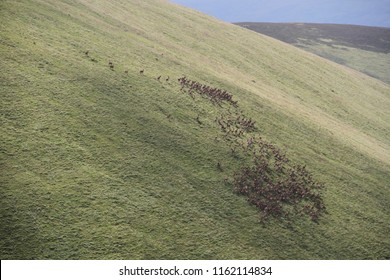 A heard of Red Deer Stags in the Scottish Highlands