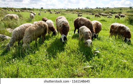 Heard of Sheep in the field. Galilee. Israel