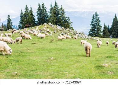 Heard of sheep grazing in the mountainside