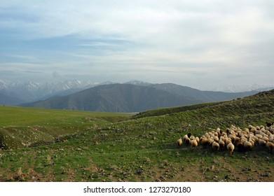 Heard of sheep. Yerablur plateau, Outskirts of Sisian town, Armenia.