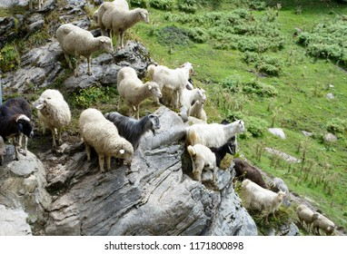 Heard of Sheeps moving from high mountains to plain. The gujjar Shepherds were with them in Himachal Pradesh near Rohtang Pass.