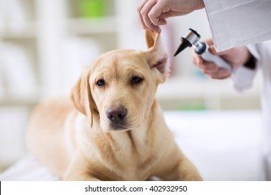 Hearing checkup of labrador dog in vet ambulance