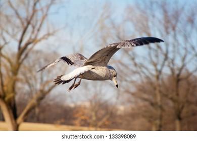 Hearing Gull in flight in Winter, Washington, D.C.