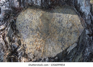 Heart in a conifer tree, Tara mountain in Serbia