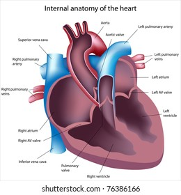 Diagram of the human heart stock images royalty free images heart cross section labeled ccuart Image collections