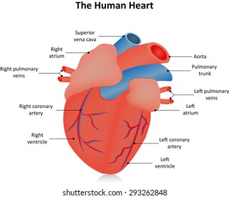 Heart anatomy cross section diagram stock vector 157286378 the heart with labels ccuart Image collections
