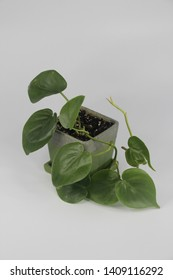 Heart Leaf Philodendron in Green Square Pot