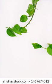Heart leaf philodendron vines on white interior wall