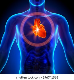 Heart - Male Anatomy of Human Organs