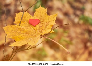 Heart on maple leaf. Open pure heart symbol, copy space. Unrequited love, infatuation or loneliness concept. Unrequited love victim of Valentine day. Beautiful autumn background.