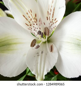 Heart of Peruvian lily (Alstroemeria); white with brown spots