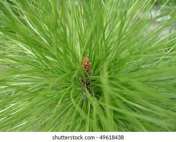 heart of pine tree