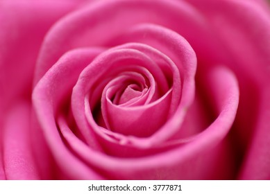 heart of a pink rose