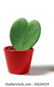 Heart Plant in red vase, on white background