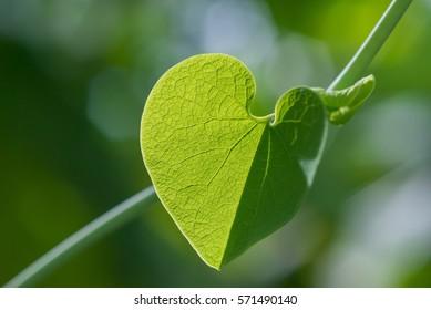 Heart shape green leaf with bokeh