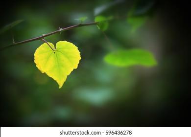 Heart shape leaf Abutilon indicum (Indian abutilon, Indian mallow)