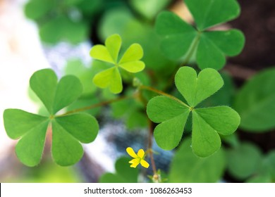 Clover and yellow flower images stock photos vectors shutterstock heart shape leaf of clover leaf plant with little yellow flower in nature selective focus mightylinksfo Choice Image