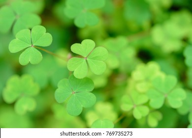 Heart shape leaf of clover leaf plant in nature, selective focus