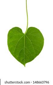 heart shape leaf of herb named guduchi or tinospora cordifolia and drop