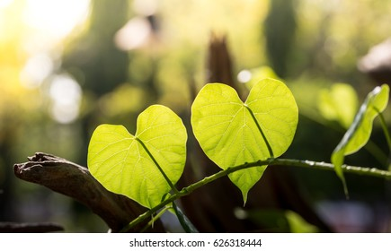 Heart shape leafs in the morning as a background wallpaper