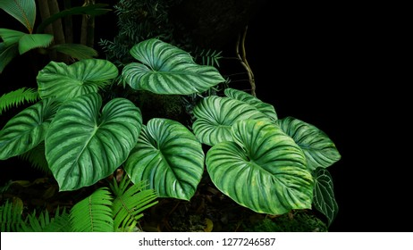 Heart shaped bicolors leaves of Philodendron plowmanii the rare exotic rainforest plant with forest ferns and various types of tropical foliage plants in ornamental garden on dark background.