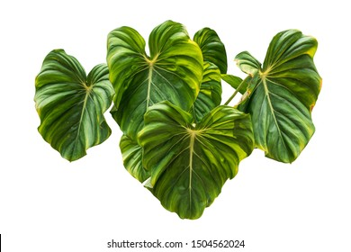 Heart shaped bicolors leaves of Philodendron plowmanii plant isolated include clipping path on white background
