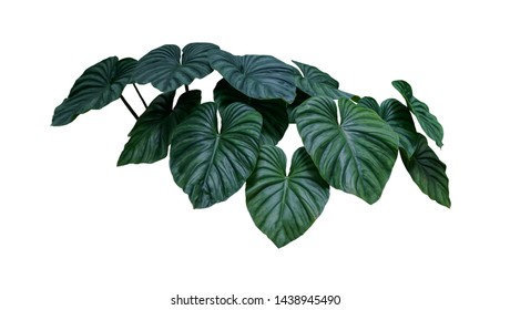 Heart shaped bicolors leaves  plant isolated on white background, clipping path included.
