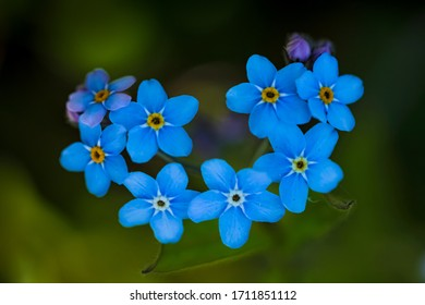 Heart shaped blue forget-me-not flowers, macro photo