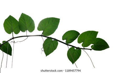 Heart shaped dark green leaves jungle vine liana plant branch with tendrils isolated on white background, clipping path included.