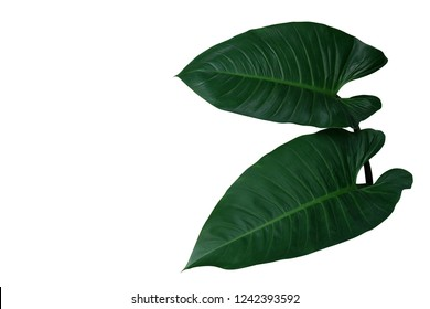 Heart shaped dark green leaves of philodendron the tropical foliage evergreen plant isolated on white background, clipping path included.