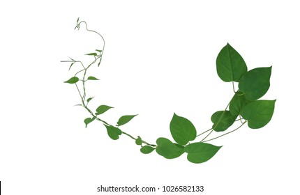 Heart shaped green leaf climbing vines isolated on white background, clipping path included