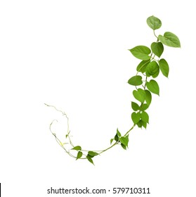 Heart shaped green leaf jungle vines isolated on white background, clipping path included.