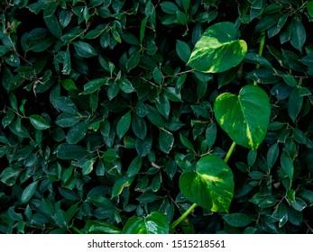 Heart shaped green leaf on green bush