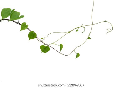 Heart shaped green leaf wild vines isolated on white background, clipping path included. Thin leaves jungle vine with branches and tendrils, climbing plant.