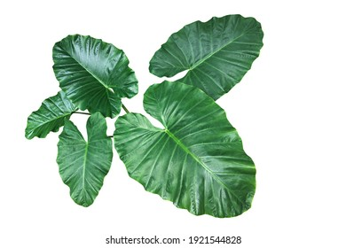 Heart shaped green leaves of Elephant Ear or Giant Taro (Alocasia species), tropical rainforest foliage garden plant isolated on white background with clipping path.