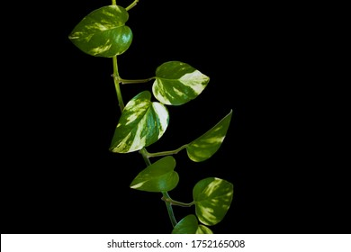Heart shaped green leaves vine ivy plant bush of devil's ivy or golden pothos (Epipremnum aureum) isolated on background with clipping path.