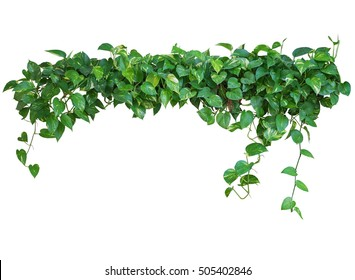 Heart shaped green leaves vine, devil's ivy, golden pothos, isolated on white background, clipping path included.