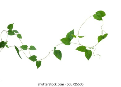 Heart shaped green leaves vines isolated on white background, clipping path included. Cowslip creeper, medicinal plant.