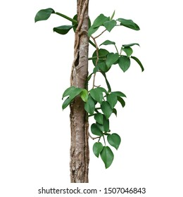 Heart shaped green leaves wild philodendron plant climbing on forest tree trunk isolated on white background, clipping path included.
