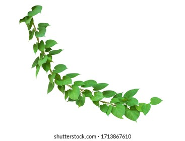 Heart shaped green leaves wild climbing vine, isolated on white background, clipping path included