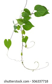 Heart shaped green leaves wild vine with branches and tendrils isolated on white background, clipping path included.