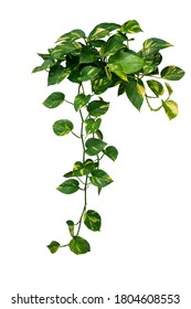Heart shaped green variegated leave hanging vine plant bush of devil's ivy or golden pothos (Epipremnum aureum) popular foliage tropical houseplant isolated on white with clipping path.