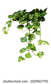 Heart shaped green variegated leave hanging vine plant bush of devil's ivy or golden pothos (Epipremnum aureum) popular foliage tropical houseplant isolated on white with clipping path. - Shutterstock ID 2029067792