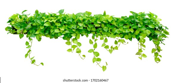 Heart shaped green yellow leaves vine, devil's ivy, golden pothos, isolated on white background, clipping path