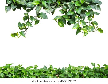 Heart shaped green yellow leaves vine, devil's ivy, golden pothos, isolated on white background